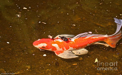 Photograph - Hungry Koi by Susan Herber