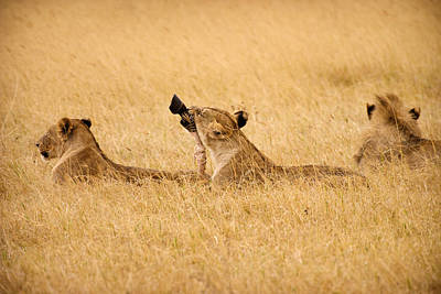 Zebra Photograph - Hungry Lions by Adam Romanowicz