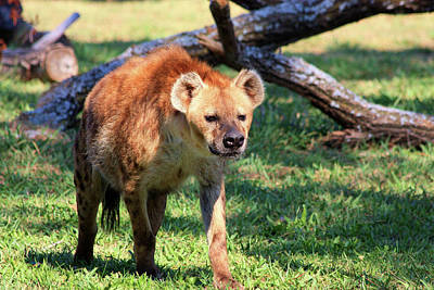 Photograph - Hungry Looking Hyena by Sheila Brown