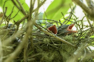 Photograph - Hungry Newborn Steller's Jays by Belinda Greb