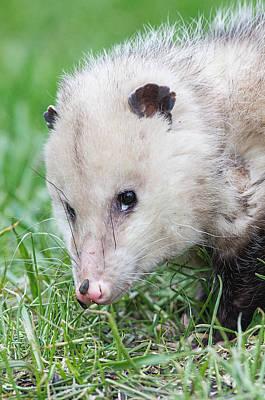 Photograph - Hungry Opossum by Jim Zablotny