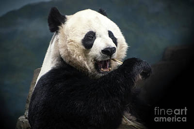 Photograph - Hungry Panda by Judy Wolinsky