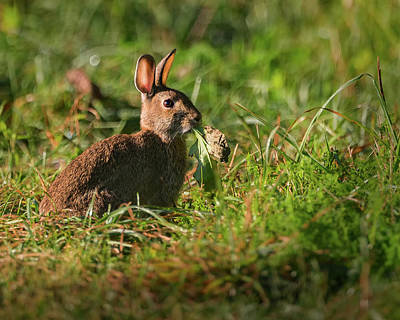 Photograph - Hungry Rabbit by Bill Wakeley
