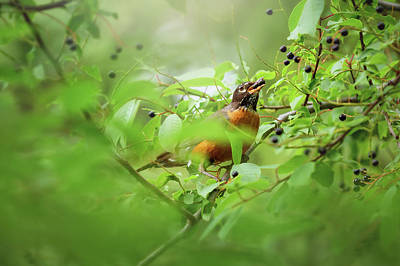 Photograph - Hungry Robin by Debby Herold