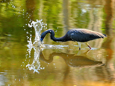 Heron Photograph - Hungry Splash by Emily Stauring