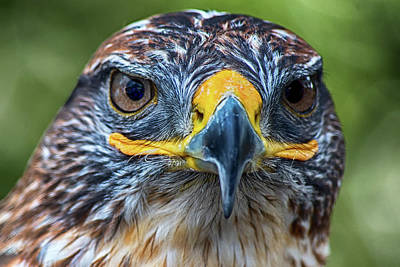 Photograph - Hunter Eyes  by Cliff Norton