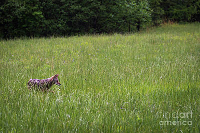 Photograph - Hunting Coyote by Andrea Silies