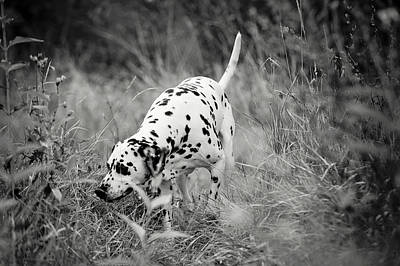 Photograph - Hunting Dalmatian by Jenny Rainbow