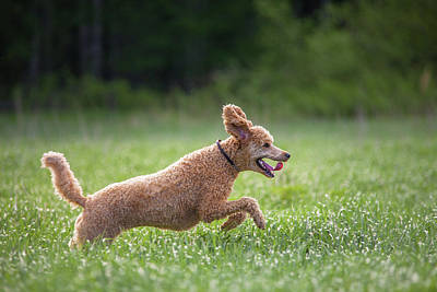 Photograph - Hunting Dog by Teemu Tretjakov