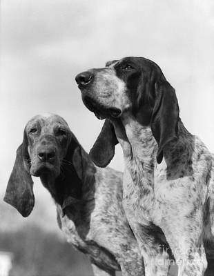 Foxhound Photograph - Hunting Dogs, C.1930s by H. Armstrong Roberts/ClassicStock