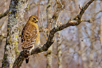 Red Shouldered Hawk Photograph - Hunting For Dinner by Linda Unger