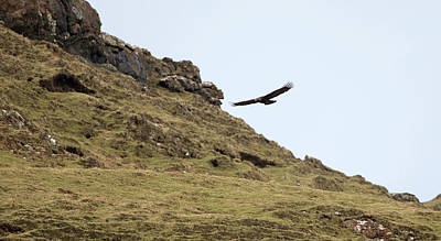 Photograph - Hunting Golden Eagle by Peter Walkden