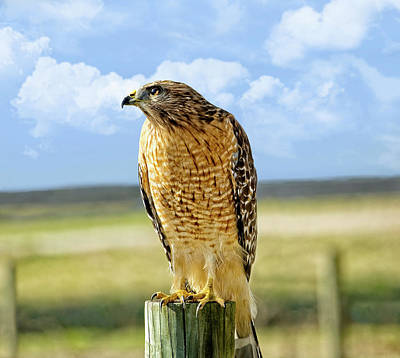 Hunting Hawk Art Print by Susan Leggett