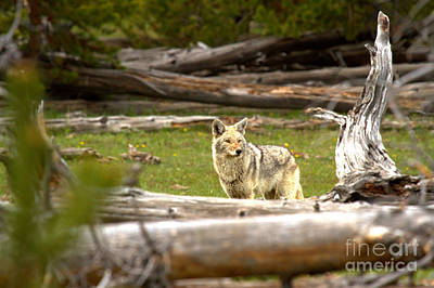 Photograph - Hunting In The Among The Fallen Trees by Adam Jewell