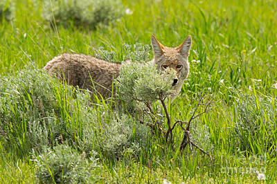 Coyote Photograph - Hunting In The Sagebrush by Natural Focal Point Photography