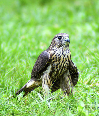 Photograph - Hunting Merlin by Kathy Kelly
