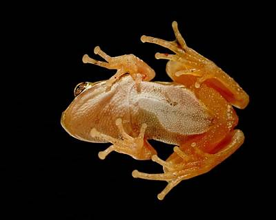 Photograph - Hunting On Glass - Tree Frog by KJ Swan