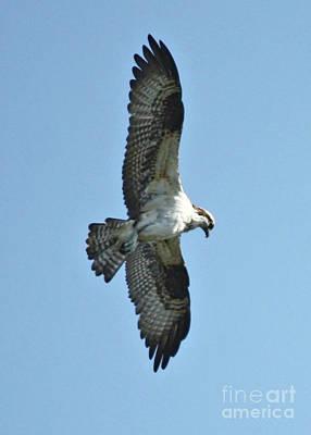 Photograph - Hunting Osprey by Carol Groenen