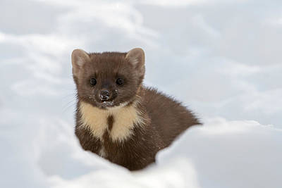 Photograph - Hunting Pine Marten by Arterra Picture Library