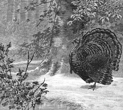 Photograph - Hunting: Wild Turkey, 1886 by Granger