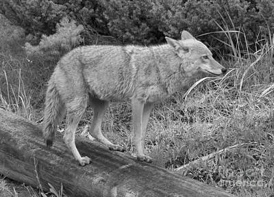 Photograph - Hunting With Ears Back Black And White by Adam Jewell