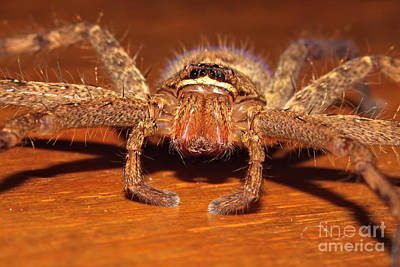 Huntsman Spider Art Print