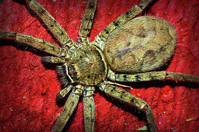 Photograph - Huntsman Spider by Larah McElroy