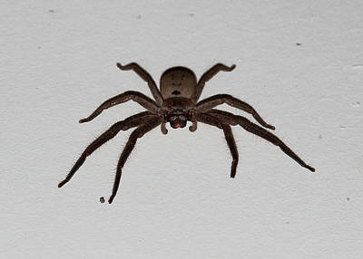 Photograph - Huntsman Spider by Miroslava Jurcik