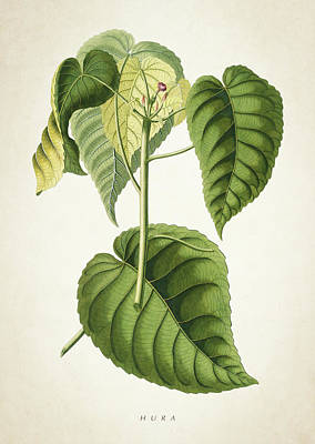 Botanical Digital Art - Hura Botanical Print by Aged Pixel