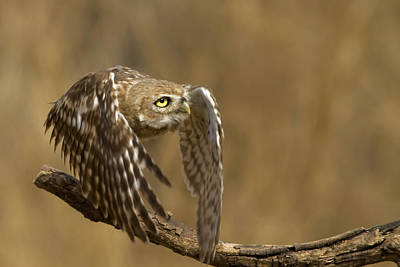Little Owl Photograph - Hurdles Race by Amnon Eichelberg