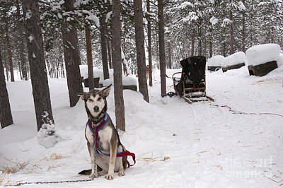 Huskie Wall Art - Photograph - Huskie And Sled by Karen Foley