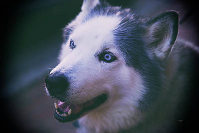 Photograph - Husky by Dennis Baswell