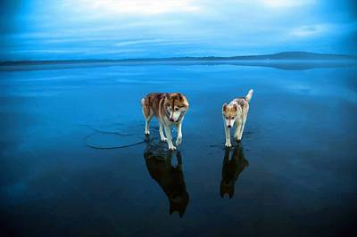 Husky Dogs Walks On Water In Northern Russia Original