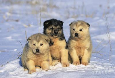 Husky Puppies Art Print by Jean-Louis Klein & Marie-Luce Hubert