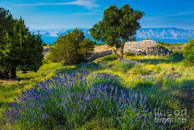 Dalmatian Photograph - Hvar Lavender Field by Inge Johnsson