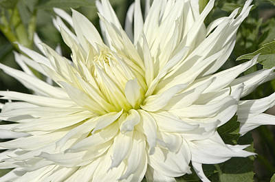 Photograph - Hy Mom Dahlia by Sharon Talson