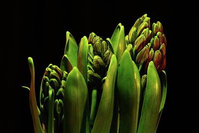 Photograph - Hyacinth by Allen Nice-Webb
