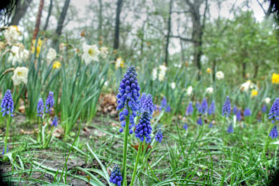 Photograph - Hyacinth Among The Daffodils by David Bearden