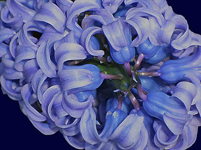 Digital Art - Hyacinth Curls by Lynda Lehmann