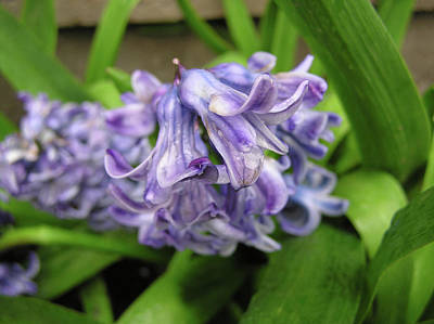 Photograph - Hyacinth Flowers by Richard Mitchell