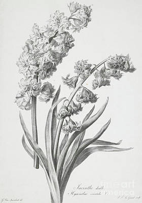 Still Life Drawing - Hyacinth by Gerard van Spaendonck