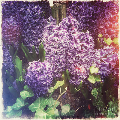 Photograph - Hyacinth Happiness - Nostalgia Of Spring by Miriam Danar