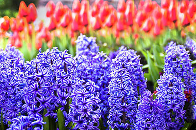 Hyacinth In Bloom Print by Tamyra Ayles