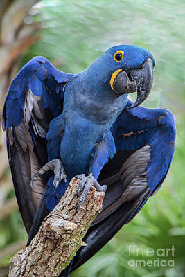 Photograph - Hyacinth Macaw by Jeff Breiman