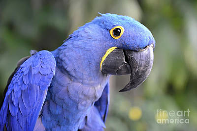 Photograph - Hyacinth Macaw by Olga Hamilton