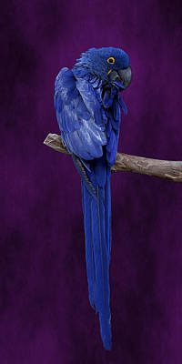 Photograph - Hyacinth Macaw Panoramic by Debi Dalio