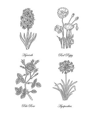 Florals Drawings - Hyacinth Red Poppy Pale Rose Agapanthus Drawing by Irina Sztukowski