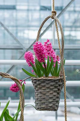 Hyacinth Varietal Pink Art Print