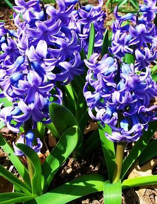 Photograph - Hyacinths by Anna Villarreal Garbis