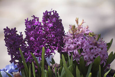 Photograph - Hyacinths by Morris  McClung